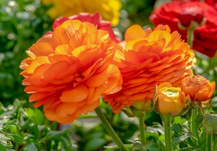 Narandžaste ruže u bašti